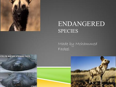 ENDANGERED SPECIES Made by Mohammed Fadeel. SOME AWESOME FACTS ! NOT REALLY.  A species is called endangered when there are so few of its kind left that.
