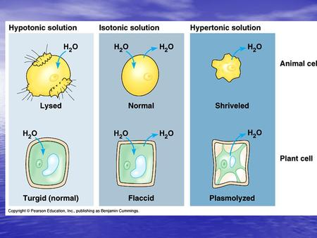 Isotonic solutions: if the osmotic concentrations of both solutions are equal than no net movement of water occurs if the osmotic concentrations of.