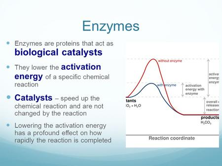 Enzymes Enzymes are proteins that act as biological catalysts They lower the activation energy of a specific chemical reaction Catalysts – speed up the.
