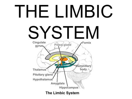 THE LIMBIC SYSTEM. LOCATION THE LIMBIC SYSTEM IS BETWEEN THE BRAINSTEM AND CEREBRAL CORTEX.