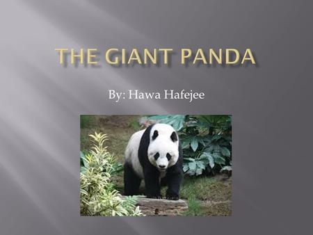 By: Hawa Hafejee.  The Giant Panda lives in broadleaf and mixed forests in Southern China.
