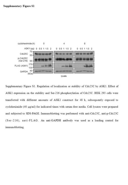 Supplementary Figure S1 Supplementary Figure S1. Regulation of localization or stability of Cdc25C by ASK1. Effect of ASK1 expression on the stability.