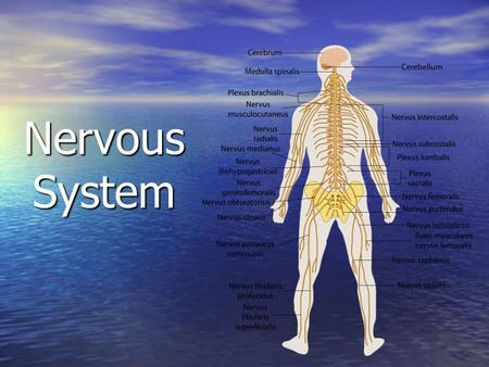 Nervous System. How did our nervous system work in the Impulse Activity we just completed? How did our nervous system work in the Impulse Activity we.