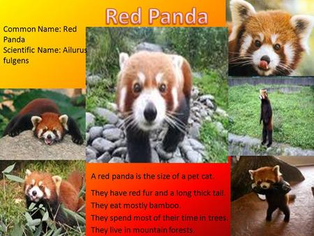 A red panda is the size of a pet cat. They have red fur and a long thick tail. They eat mostly bamboo. They spend most of their time in trees. They live.
