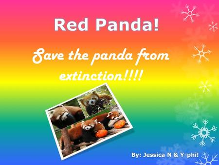 Save the panda from extinction!!!!. How they look  A red panda is a size of a pet cat.  They have red fur and a long thick tail.  They eat mostly bamboo.