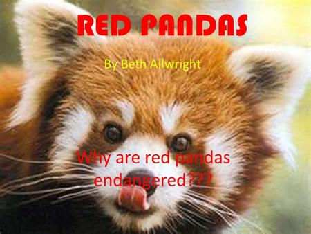 RED PANDAS By Beth Allwright Why are red pandas endangered???