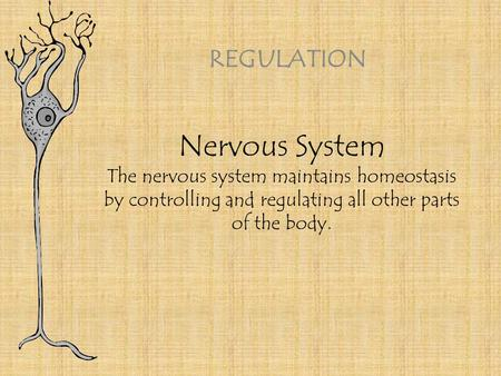 Nervous System The nervous system maintains homeostasis by controlling and regulating all other parts of the body. REGULATION.