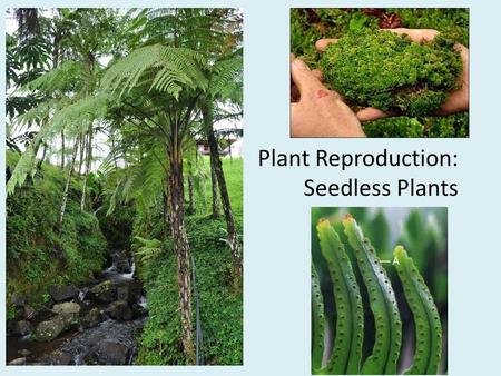 Plant Reproduction: Seedless Plants. Review: What are the different types of plant reproduction? Sexual reproduction – Are these cells haploid or diploid?