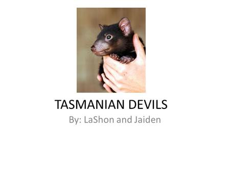 TASMANIAN DEVILS By: LaShon and Jaiden. Appearance The Tasmanian devil is as small as a dog. It has black fur. It Is 26 pounds.