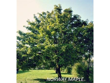 NORWAY MAPLE.. It is a deciduous tree growing to 20– 30 m in height with a trunk up to 1.5 m in diameter, and a broad, rounded crown. The bark is grey-brown.