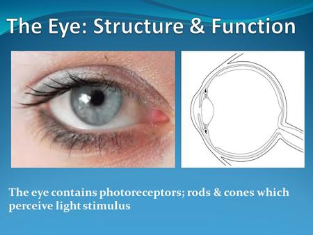 The Eye: Structure & Function