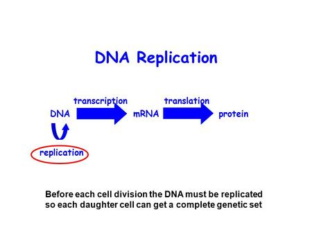DNA Replication DNA mRNA protein transcription translation replication Before each cell division the DNA must be replicated so each daughter cell can get.