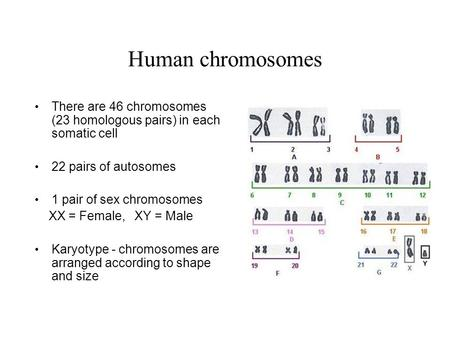 Human chromosomes There are 46 chromosomes (23 homologous pairs) in each somatic cell 22 pairs of autosomes 1 pair of sex chromosomes XX = Female, XY =