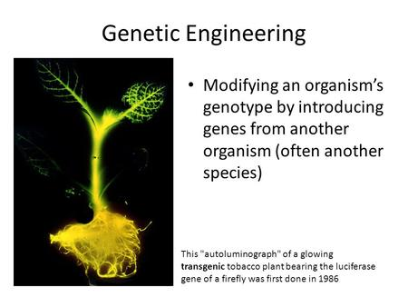 Genetic Engineering Modifying an organism's genotype by introducing genes from another organism (often another species) This autoluminograph of a glowing.