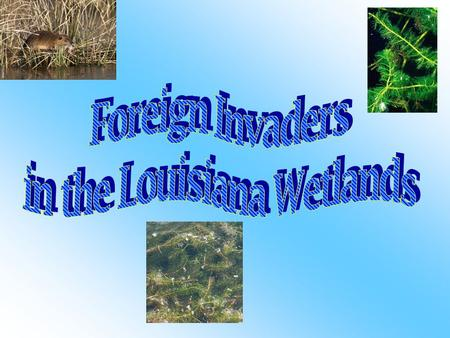 -Nutria denudes natural levees - Damages sugarcane fields - Nutria has done a lot of damage to the wetlands, they gnawed through 800,000 acres of marshes.