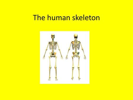 The human skeleton.