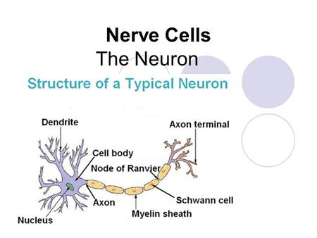 Nerve Cells The Neuron.
