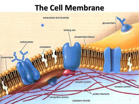 The Cell Membrane 1 Cell membranes are composed of two phospholipid layers called a phosholipid bilayer. The cell membrane has two major functions: 1.