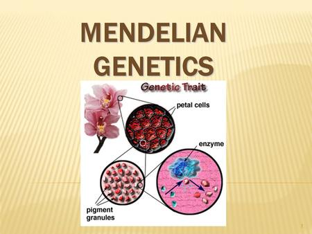 MENDELIAN GENETICS 1. GREGOR JOHANN MENDEL  Austrian monk  Studied the inheritance of traits in pea plants  Developed the laws of inheritance  Mendel's.