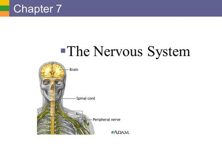 Chapter 7 The Nervous System.