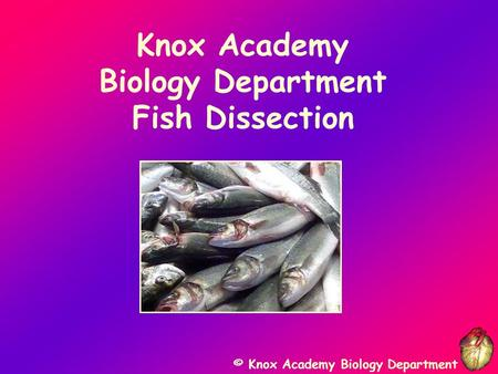 © Knox Academy Biology Department Knox Academy Biology Department Fish Dissection.