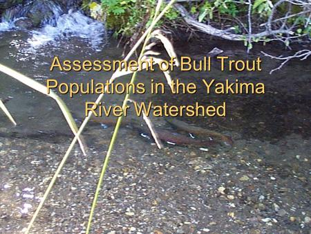 Assessment of Bull Trout Populations in the Yakima River Watershed.