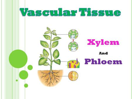Vascular Tissue Xylem And Phloem.