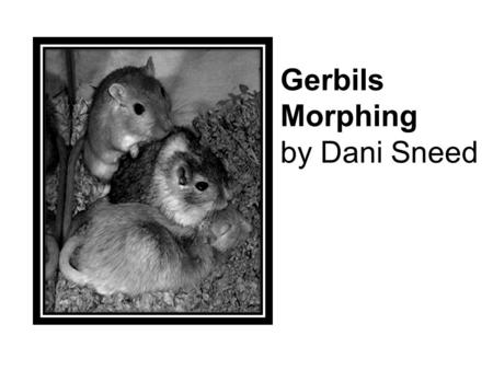 Gerbils Morphing by Dani Sneed