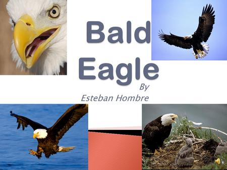 Bald Eagle By Esteban Hombre.