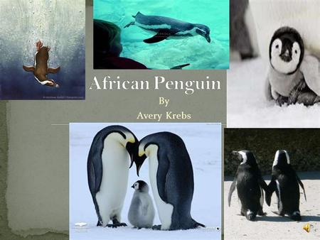 African Penguin By Avery Krebs.