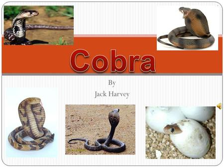 Cobra By Jack Harvey.