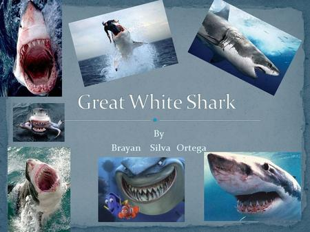 Great White Shark By Brayan Silva Ortega.
