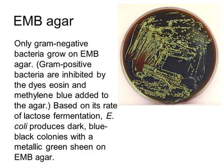 EMB agar Only gram-negative bacteria grow on EMB agar. (Gram-positive bacteria are inhibited by the dyes eosin and methylene blue added to the agar.) Based.