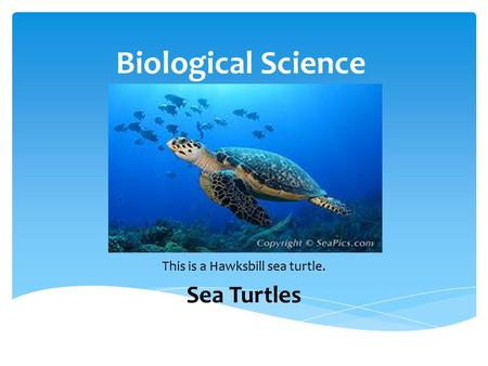 Biological Science This is a Hawksbill sea turtle. Sea Turtles.