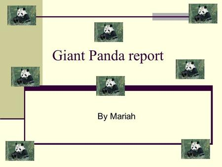 Giant Panda report By Mariah. 99% of a Giant panda's food is bamboo but they also sometimes eat if available; fish, shrub leaves, insects and small rodents.