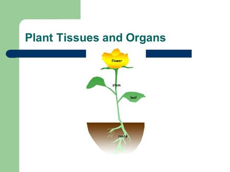 Plant Tissues and Organs. Plant Tissues All plants are made up roots, stems, leaves and flowers. These structures are made up of cells These cells are.