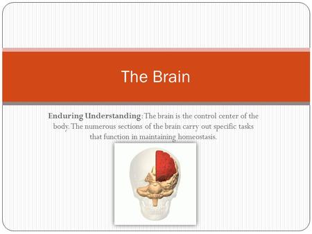 The Brain Enduring Understanding: The brain is the control center of the body. The numerous sections of the brain carry out specific tasks that function.