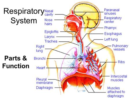 Respiratory System Parts & Function.