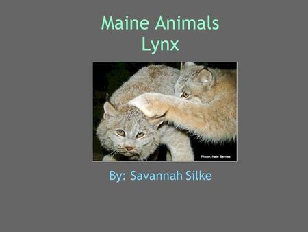 Maine Animals Lynx By: Savannah Silke. Animal's Name My animal is a lynx. Its scientific name is lynx canadensis. The males and females don't have special.