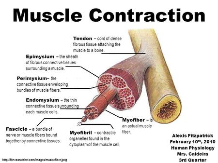 Muscle Contraction Tendon – cord of dense fibrous tissue attaching the muscle to a bone. Epimysium – the sheath of fibrous connective tissues surrounding.