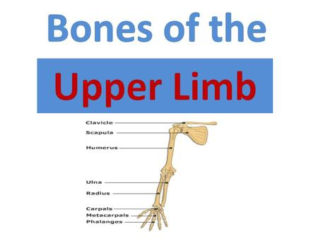 Bones of the Upper Limb.