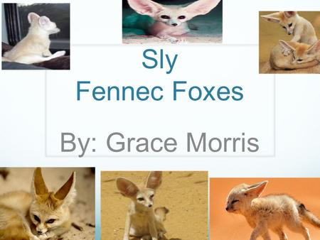 Sly Fennec Foxes By: Grace Morris.