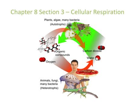 Chapter 8 Section 3 – Cellular Respiration