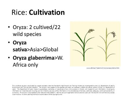 Rice: Cultivation Oryza: 2 cultived/22 wild species Oryza sativa>Asia>Global Oryza glaberrima>W. Africa only www.afd.be/~plant-ch/riz/conaiss/AGriz.htm.