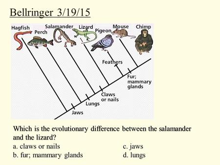 Bellringer 3/19/15 Which is the evolutionary difference between the salamander and the lizard? a. claws or nailsc. jaws b. fur; mammary glandsd. lungs.