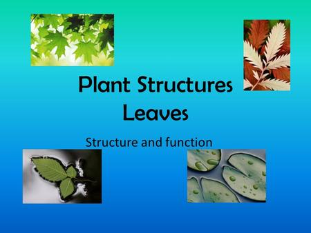 Plant Structures Leaves Structure and function. Leaves... All leaves are responsible for: Absorbing energy from the sun in organelles called ___________.