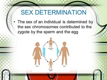 SEX DETERMINATION The sex of an individual is determined by the sex chromosomes contributed to the zygote by the sperm and the egg.