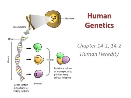 Human Genetics Chapter 14-1, 14-2 Human Heredity.