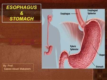 ESOPHAGUS & STOMACH By Prof. Saeed Abuel Makarem.
