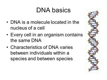 DNA basics DNA is a molecule located in the nucleus of a cell Every cell in an organism contains the same DNA Characteristics of DNA varies between individuals.